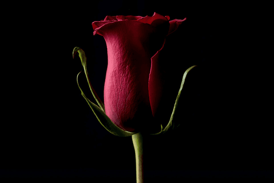 Forever Rose by Kevin Abosch